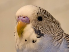 Macro Challenge (Corgibird) Tags: parrot parakeets seed seedpod macro potrait portrait beaks food budgie cute birds nature blue bluebirds