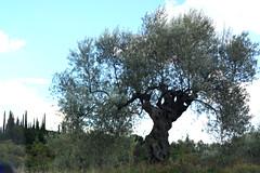 Olive Tree (RobW_) Tags: olive tree taygetus peloponnese zakynthoskyparissi greece friday 11nov2016 november 2016