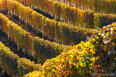 Le Langhe (beppeverge) Tags: barolo beppeverge colline dolcetto grapes italy landscape langhe moscato paesaggio roero uva vigna vigneti vineyard vino vitigni wine guarene piemonte italia it