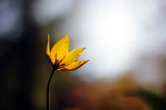 Blume (swphotographie) Tags: blume blmchen blte gelb plantenunblomen sonne gegenlicht schrfentiefe bokeh 50mm flower blossom bloom yellow backlight contrejour depth field dof