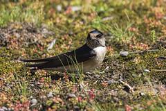 Tree Martin 2016-09-23 (60D_3475) (ajhaysom) Tags: treemartin petrochelidonnigricans woodlandshistoricpark greenvale melbourne australia australianbirds canoneos60d sigma150600