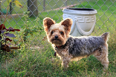 Nemo - Backlit 10-20-16 (MelenaMe) Tags: nemo dog backlit canine pet yard garden patio vase yorkie yorkiepoo