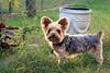 Nemo - Backlit 10-20-16 (MelenaMe) Tags: nemo dog backlit canine pet yard garden patio vase yorkie yorkiepoo