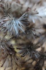 Herbstgeflster (borchert.regina) Tags: natur pflanze unschrfe macro