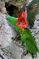 20-11-2016-taronga 337 (tdierikx) Tags: 20112016taronga tarongazoo taronga tdierikx birds lorikeet