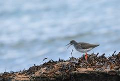 Red Shank (boogie1670) Tags: canon7dmarkii sigma 150600mm seabirds waders wildlifebritish red shank saltwater britishbirds northumberland