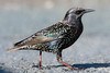 Starling (Shane Jones) Tags: starling bird gardenbird wildlife nature nikon d500 200400vr tc14eii