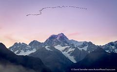 Geese Over Mt Tasman (David Swindler (ActionPhotoTours.com)) Tags: southisland lakematheson newzealand wildlife mttasman geese