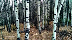I'm intrigued! (altamons) Tags: altamons canadian canada alberta poplars aspens aspen canmore