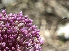 Allium spec 4 (heinvanwinkel) Tags: 2013 allioideae alliumspec amaryllidaceae asparagales bloemvandedag euphyllophyta griekenland juni kastraki liliopsida magnoliophyta mesangiospermae petrosaviidae spermatophyta tracheophyta ui