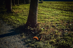 Red (Melissa Maples) Tags: ludwigsburg germany deutschland europe apple iphone iphone6 cameraphone dawn morning park monrepos sunrise animal squirrel path trees