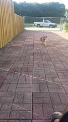 20161003_172625 (rolyrol1982) Tags: rambo chihuahua old dog loyal noble years 15 fifteen running brick pavers