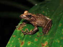 Fijian Tree Frog (Cornufer vitiensis) (Heleioporus) Tags: fijian tree frog cornufer vitiensis viti levu fiji
