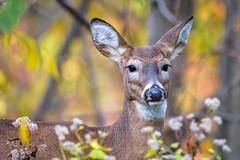Whitetail Doe in Autumn's Finest (PhillymanPete) Tags: autumn wildlife nature palmyracovenaturepark doe whitetail fall deer animal palmyra newjersey unitedstates us d7200 nikon