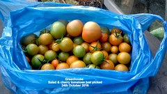 Greenhouse - Salad & cherry tomatoes just picked 24th October 2016 (D@viD_2.011) Tags: greenhouse salad cherry tomatoes just picked 24th october 2016