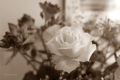 Absence (nathaliedunaigre) Tags: fleurs flowers rose spia