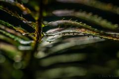 Basking in the December Sun (Don White (Burnaby)) Tags: 26mm centralpark extensiontube flowersplants macro sigma60mmf28 bokeh fern