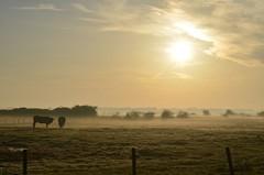 Ochtendwandeling met een beetje mist. (Omroep Zeeland) Tags: herfst mist moer yerseke 8 graden yersekemoer ochtend ochtendwandeling hond koe genieten
