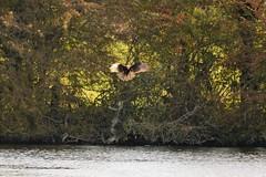 Marsh Harrier (jazalty) Tags: staveleynaturereserve staveley nature yorkshirewildlifetrust marshharrier