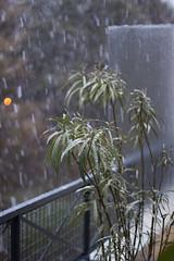 Emerainville - Snow on the oleander (julienbraco) Tags: snow tree oleander laurierrose rain day