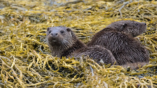 Otters (Lutra Lutra)