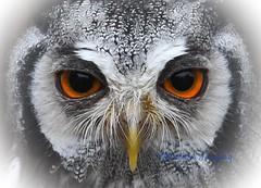 Beautiful Eyes! (Albatross Imagery) Tags: photographer animalportraits animalphotography photo photography animals instagram beautiful flickr portraits portrait birds bird sigma nikon owleyes eyes face birdsofprey owls owl whitefacedowl