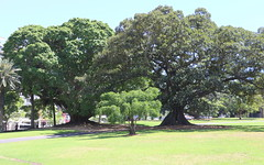 Fig Trees; Ficus virens,  henneanna, & macrophylla (Poytr) Tags: ficus moraceae ficusmacrophylla ficusvirens ficushenneana ficussuperbavarhenneana royalbotanicgardenssydney rbgsarfp rbgs arfp nswrfp qrfp stranglerfig arfstreettree whitefig moretonbayfig deciduousfig sydneyaustralia sydney ficusmacrophyllavarmacrophylla