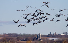 Horicon Marsh (sarasonntag) Tags: horicon marsh waupun wisconsin fall migration sandhill crane flyover outdoor bird farm land