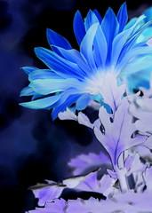 Pele chrysanthemum ... mood indigo (goldengirl 2011) Tags: serene flower pele chrysanthemum pelechrysanthemum mum blue lavender moodindigo petal plant colorinversion blossom indoor katharinehanna2016 katharinehanna