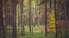 Colorful contrast ... (Alex Verweij) Tags: colors kleur color tree boom berkenboom forrest bos herfst autumn hierden nunspeet alexverweij canon 5d contrast november 2016