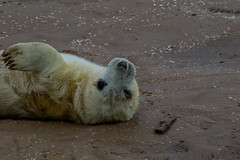 Wink ;) (CWT-Photography) Tags: baby pup seal young white fluffy adorable wink cheeky wave sea river life sand humber riverhumber wet wildlife nature donnanook lincolnshire eastcoast east northeast north british photography animal beautiful sigma tamron nikon hobby