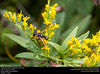Crabronid wasp (Crabronidae, Cerceris sp.) (insectsunlocked) Tags: hymenoptera vespidae eumeninae potterwasp