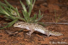 Tessellated gecko (Diplodactylus tessellatus) (ross.mcgibbon) Tags: reptile geckoes gecko lizard herpetology herpphotography australia wildlife scales gekkonidae canon700d tails reptiles species amazingeyes coolpatterns claws claw tail terrestrial arboreal prehensile herping nature conservation fauna flora animals animal habitat deserts sand sun sunset sky rainforest storm clouds northern southern eastern western red green blue yellow travel outback photography canon macro slr lens camera photo image shot