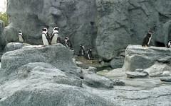 lb-019-2002-004 (Paul-W) Tags: connecticut mysticaquarium 2002 vacation mystic penguins