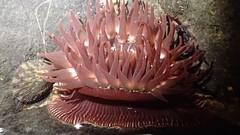 Brooding anemone, Epiactis prolifera (aharmer1) Tags: broodinganemone epiactisprolifera brooding anemone epiactis prolifera
