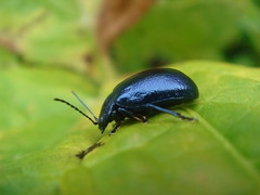 Leaf_Beetle_(Gastrophysa_cyanea)_at_Balme_de_Froide_2 (Abbey_L) Tags: alps animal barmedefroide beetle day3sales france frenchalps gastrophysacyanea insect leaf leafbeetle outbreakadventure samoens tjpio tobeidentified