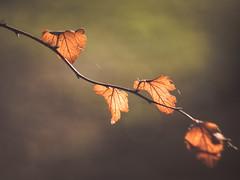 Rythm (A_Peach) Tags: gx8 helios park autumn leaves plant mood moody bltter herbst fall herbstfarben autumncolours panasoniclumixgx8 helios442 dof bokeh vintagelens