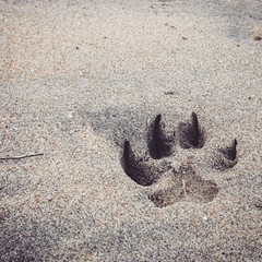 Paw print (Makaveli 8) Tags: conflictcreation peterford8 dog anbang vietnam hoian beach sand print paw pawprint puppy alsatian germanshepherd enzo