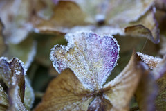 Frozen (Dimormar!) Tags: bevroren ijs ice frozen hortensia garden tuin