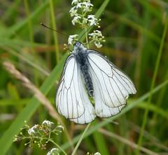 Black-veined White. Aporia crataegi (gailhampshire) Tags: blackveined white aporia crataegi taxonomy:binomial=aporiacrataegi