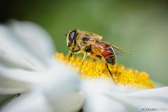 trabajando (Mauro Esains) Tags: abejas desenfoque trabajo polen flor margarita tamron nikon macro movimiento aire libre jardn primer plano vuelo ptalos