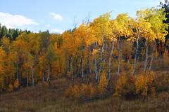 aspens3 (laelia74) Tags: wyoming grandtetons fall nature outside hiking mountains