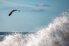 Flying in the sky (Flemming Andersen) Tags: animal bird outdoor seaside flying nature sand water waves bedstedthy northdenmarkregion denmark dk