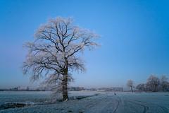 My bike (martinstelbrink) Tags: morning morgen bluehour blauestunde winter frost raureif eis ice tree baum niederrhein germany nrw nordrheinwestfalen standardrunde standardwalk sony alpha7rii a7rii voigtländervmeclosefocusadapter leicasummicron35mmf20preasph leicasummicron35mmf20i leica summicron 35mm f20 preasph