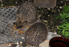 Two Little Visitors (Judy's Wildlife Garden) Tags: hedgehogs judykennett knightonpowys