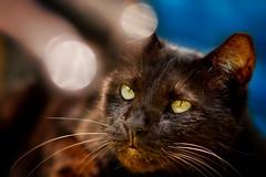 .~~. (Fu-yi) Tags: color cute animal zeiss cat mix sony taiwan lovely mrt alpha dslr     135mm   carlzeiss formosan  shuanglian felidae      catnipaddicts