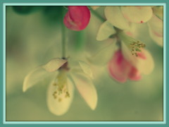 Softly Spring (Renee Rendler-Kaplan) Tags: flowers march moving spring nikon soft gbrearview wind framed pastel blossoms windy framing delicate dangling springtime gapersblock 2012 wbez swaying matted chicagoist treeblossoms nikond80 reneerendlerkaplan
