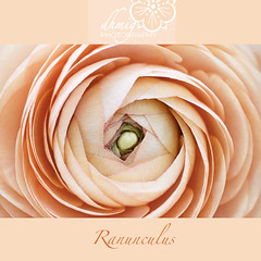 Ranunculus (dhmig) Tags: pink flowers red italy stilllife white flower macro nature beauty closeup petals spring nikon dof buttercup centre softness naturallight center ranunculus whitebackground freshness elegance purity flowerhead 50mmf28 fragility nikond7000 dhmig dhmigphotography