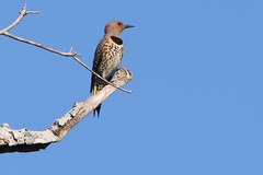 Northern Flicker female (Colaptes auratus) (Robert Stalnaker) Tags: nature birds gardens female woodpecker florida wildlife birding mead northernflicker colaptesauratus meadgardens robertstalnaker may52012