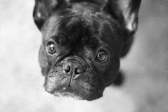 """05-10-12 (928) """"Where have you been, Mommy?"""" (Lainey1) Tags: bw dog eyes nikon bulldog frenchie frenchbulldog 365 lightshadow ozzy 928 frogdog d90 051012 lainey1 thelittledoglaughed nikond90 zendog ldlportraits elainedudzinski 928oz ozzythefrenchie"""